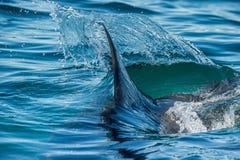 Aleta do tubarão na água Imagens de Stock Royalty Free