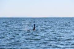 A aleta dorsal de uma baleia de assassino é visível acima das águas do Oceano Pacífico perto da península de Kamchatka, Rússia fotografia de stock royalty free