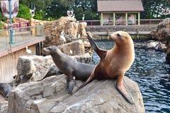 Aleta móvil del león marino que pide la comida en Marine Theme Park en área internacional de la impulsión foto de archivo libre de regalías