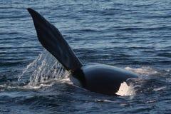 Aleta meridional de la ballena derecha Fotos de archivo libres de regalías