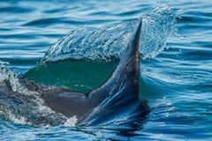 Aleta n do tubarão a água Fotografia de Stock Royalty Free