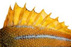 A aleta superior de um peixe Imagem de Stock