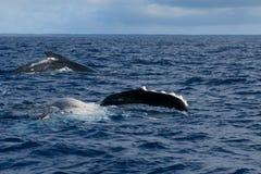 Aleta y parte posterior de la ballena jorobada que entran abajo en el mar polinesio azul Foto de archivo