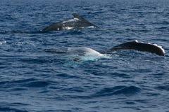 Aleta y parte posterior de la ballena jorobada que entran abajo en el mar polinesio azul Foto de archivo libre de regalías