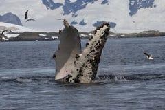 Aletas de la ballena jorobada que mueve de un tirón debajo del agua Imagen de archivo
