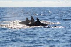 Aletas dorsales de la orca Imagen de archivo libre de regalías