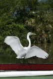 Aleteo blanco del pájaro Fotografía de archivo libre de regalías