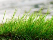 Aleteo de la hierba jugosa verde Imagenes de archivo