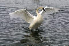 Aleteo del cisne alrededor Foto de archivo libre de regalías