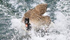 Aleteo del ganso de Canadá en agua Foto de archivo libre de regalías