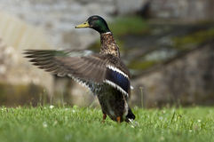 Aleteo del pato con las alas Fotos de archivo