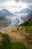 Aletsch Glacier National Park in spring. Purple flowers in close view, portrait format royalty free stock photos