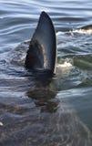 Aletta del primo piano di grande squalo bianco (carcharodon carcharias) Fotografie Stock Libere da Diritti