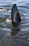 Aletta del primo piano di grande squalo bianco (carcharodon carcharias) Immagini Stock