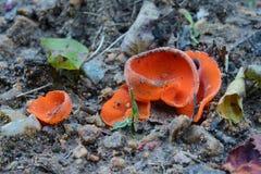 Aleuria aurantia fungus Royalty Free Stock Photo