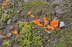Aleuriaaurantia Stock Fotografie