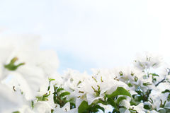 Aleurites branco Montana Imagens de Stock Royalty Free