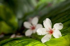 Aleurites Montana flower Royalty Free Stock Photo