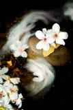 Aleurites Montana flower Royalty Free Stock Image