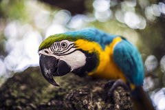Alex the Macaw Stock Photos