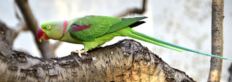 Alexandeine Parakeet Stock Photos