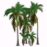 Alexander King Palm Tree. This tropical tree grows in the rainforest and is a palm native of Queensland, Australia royalty free illustration
