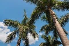 Alexander palmträd Arkivbilder