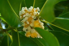 Alexandrian laurel flower Royalty Free Stock Photo