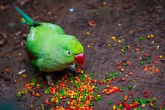 Alexandrian parrot (Psittacula eupatria) closeup. Eating fodder Royalty Free Stock Photo