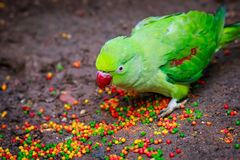 Alexandrian parrot (Psittacula eupatria). Closeup eating fodder Royalty Free Stock Photos