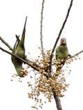 Alexandrijnparkieten die in de wildernis eten royalty-vrije stock fotografie