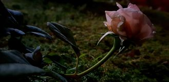 Alexandrin rose flower royalty free stock images