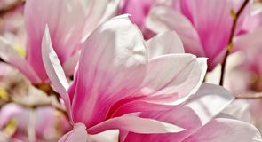 Alexandrina Magnolia Royalty Free Stock Images