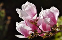 Alexandrina Magnolia Royalty Free Stock Photos
