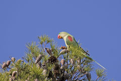Alexandrine Parakeet. An Alexandrine Parakeet (Psittacula eupatria) sitting on the top of a pine-tree Royalty Free Stock Photo