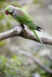 alexandrine parakeet Obrazy Royalty Free