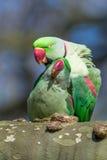 Alexandrine parakeet or Alexandrian parrot. Birds, Alexandrine parakeet or Alexandrian parrot Royalty Free Stock Photography