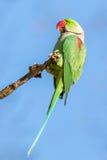 Alexandrine parakeet or Alexandrian parrot. A green Alexandrine parakeet or Alexandrian parrot Stock Photos