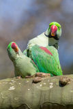 Alexandrine parakeet or Alexandrian parrot. A green Alexandrine parakeet or Alexandrian parrot Royalty Free Stock Image