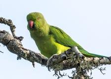 The Alexandrine Parakeet. In Bundala National Park of Sri Lanka Royalty Free Stock Image