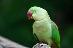 Alexandrine parakeet or Alexandrine parrot. Closeup beautiful green Alexandrine parakeet Stock Photography