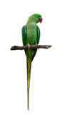 Alexandrine parakeet or Alexandrine parrot or Psittacula eupatri. A, beautiful green bird isolated on branch with white background Royalty Free Stock Image