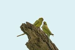 Alexandrine Parakeet in Assam. In Kaziranga National Park in India Stock Photo