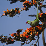 Alexandrine parakeet in Bardia, Nepal Royalty Free Stock Photography