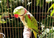 Alexandrine parakeet - Big ringed or Alexandrian parrot sits in a cage locked up. Captivity Bird with necklace, bright green, herbal color on the wings and Stock Photography