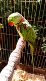 Alexandrine parakeet - Big ringed or Alexandrian parrot sits in a cage locked up. Captivity Bird with necklace, bright green, herbal color on the wings and Royalty Free Stock Images