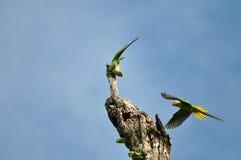 Alexandrine Parakeet (bird). Alexandrine Parakeet  bird of thailand background Stock Photo