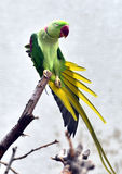 Alexandrine Parakeet Royalty Free Stock Photo
