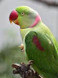Alexandrine Parakeet Stock Photography