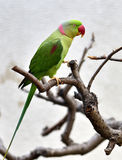 Alexandrine Parakeet Stock Photos
